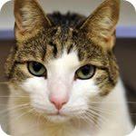 Adopt a cat - Cheddar