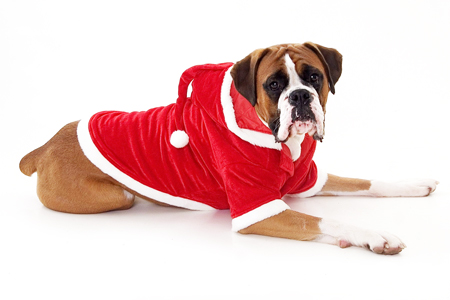 christmas boxer dog