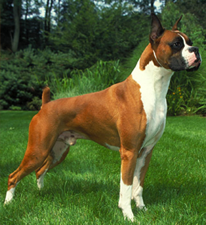 american kennel club announces most popular dogs of 2010