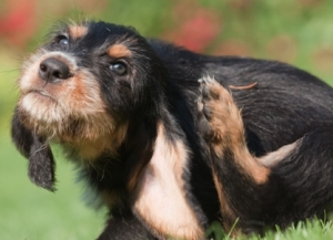 Itchy skin in pets