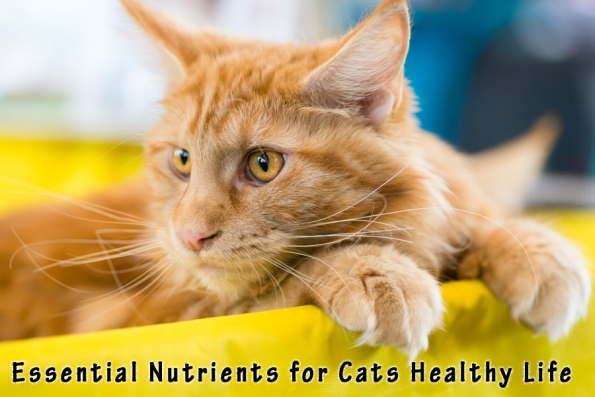 Essential Nutrients for Cats