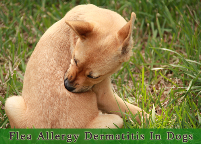 How to Deal with Flea Allergy Dermatitis in Dogs ...