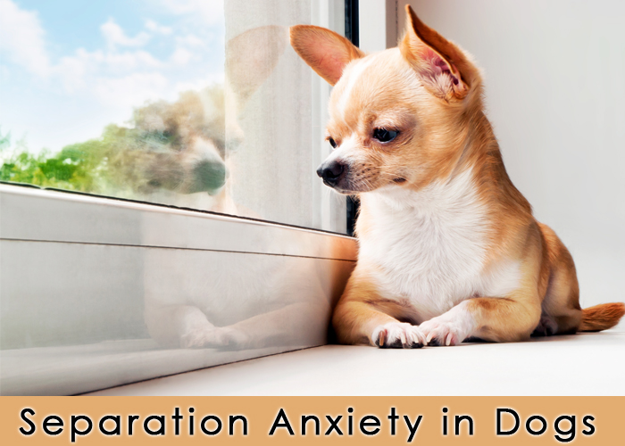 Separation Anxiety Medication For Dogs Uk