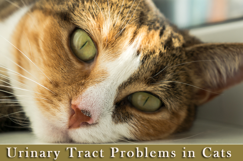 Urinary Tract Problems in Cats
