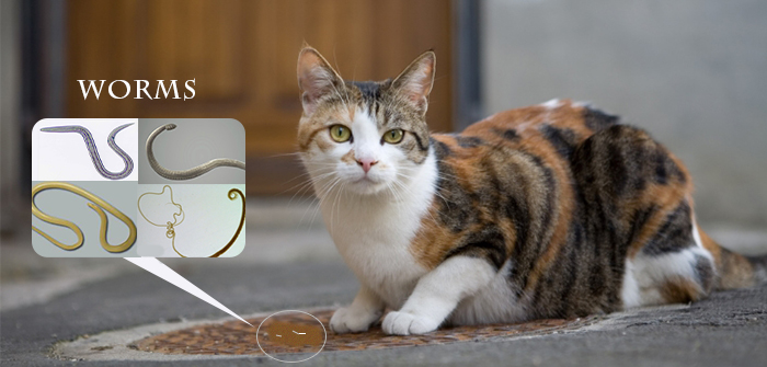 Symptoms of Worms in Cats : Decoding the KittyHealth