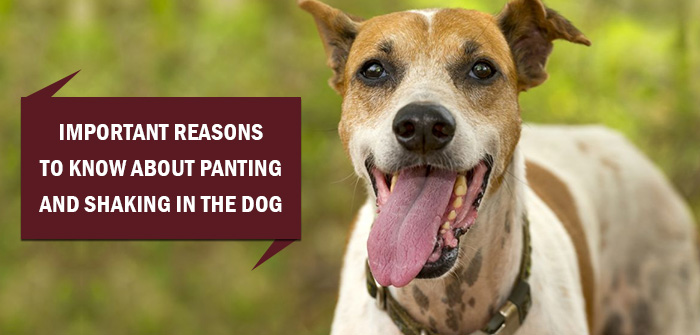 Important Reasons To Know About Panting And Shaking In TheDog