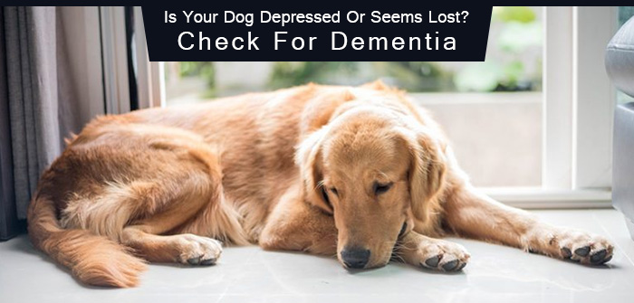 Is Your Dog Depressed Or Seems Lost? Check For Dementia