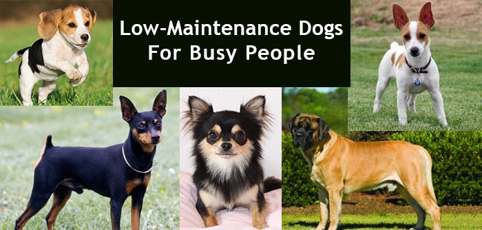 Low-Maintenance Dogs For BusyPeople